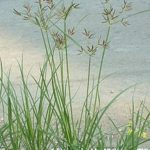 220px-Nutgrass_Cyperus_rotundus02